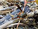Is this Polistes fuscatus or some other paperwasp ?  - Polistes fuscatus
