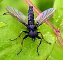 Bibionidae - Bibio - male