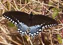 Blue Butterfly-Wakulla Springs - Papilio troilus