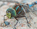 Lake darner - Aeshna eremita - male