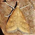 Celery Leaftier Moth - Hodges#5079 - Dorsal  - Udea rubigalis