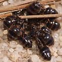 Weird ants - Crematogaster lineolata
