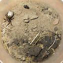 Semi Subterranean Spider - Arctosa - female