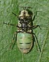 Stratiomyidae, ventral - Psellidotus