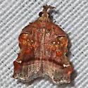 Trumpet Vine Moth - Clydonopteron sacculana