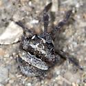 Bug - Phylloscelis