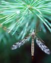 Crane Fly - Tipula trivittata - female