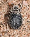 unknown scarab beetle from NM - Omorgus