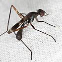 Odd Fly - Taeniaptera trivittata