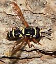 Bee-mimic fly - Ceriana - male
