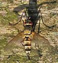 Unknown Fly - Zelia - male