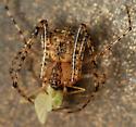 pirate spider with green midge - Mimetus notius - female