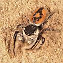 Phidippus insignarius - Phidippus