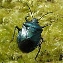 Blue-Green Stink bug - Zicrona caerulea