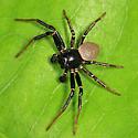 crab spider - Xysticus alboniger - male