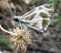 Turk's-Cap White-Skipper - Heliopetes macaira