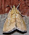 Aethiophysa or Glaphyria?  - Glaphyria sesquistrialis