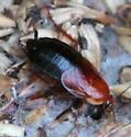 Turkestan Cockroach - Parcoblatta fulvescens