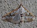 moth - Palpita atrisquamalis