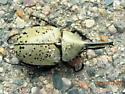 Western Hurcules Beetle - Dynastes grantii - male