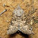 Hodges #11134 - Schinia cupes