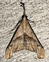 Palthis angulalis