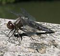 Dragonfly - Ladona deplanata