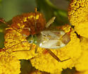 Green Plant Bug - Adelphocoris lineolatus