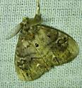 Orgyia leucostigma - White-marked Tussock Moth - Orgyia leucostigma