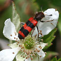 Checkered Beetle - Trichodes apivorus
