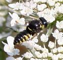 Wasp ID Request - Anacrabro ocellatus
