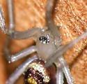 Spider ID - Steatoda grossa