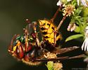 Giant European Hornet - Vespa crabro
