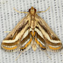 Floating-heart Waterlilly Moth - Parapoynx seminealis