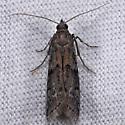 Unknown moth - Vitula serratilineella