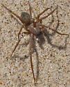 Ground Spider? - Amaurobius - male