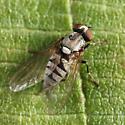 Platypezid - Platypeza anthrax - female