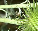 Cobweb spider? - Pityohyphantes