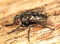 fly - Cyrtophleba nitida - female