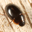 Water Scavenger Beetle - Cymbiodyta vindicata