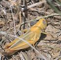 Yellow grasshopper with red tibia