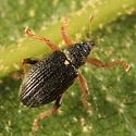 Flea Weevil - Isochnus sequensi