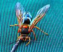 Large Wasp - Sphecius speciosus