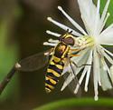 flower fly – syrphus sp.? - Epistrophella