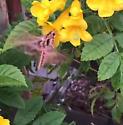 Hummingbird moth - Eumorpha