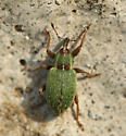 iridescent green weevil - Hypera nigrirostris