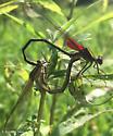 Hetaerina americana? - male - female