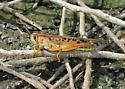 Birdwing Grasshopper? - Schistocerca americana - male