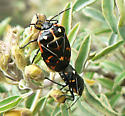 Black and orange bug - Murgantia histrionica