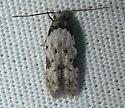 Moth - Taygete attributella